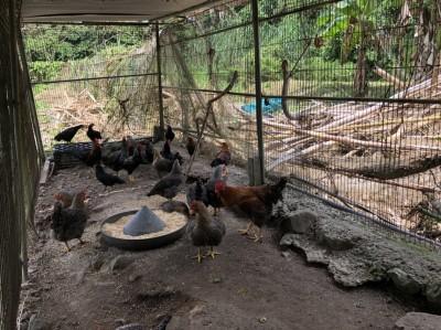 埔里民眾肥美雞隻無故失蹤 「神秘客」有可能是牠們