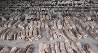 新加坡查獲史上最大象牙走私案 市價4億