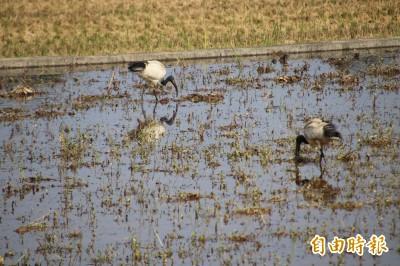 埃及聖䴉駕到 白鷺鷥伴農機場景恐成珍稀畫面?