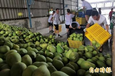 麻豆啟動收購大果文旦加工 10天收購100萬台斤