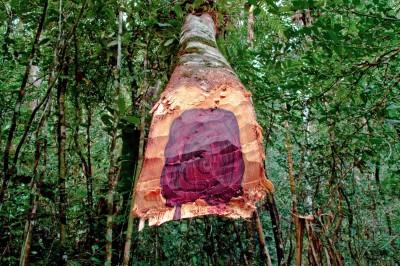 中國貪婪需求害慘非洲  迦納違法出口600萬棵紅木