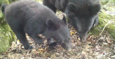 南安又有小熊趴趴走 林務局:自動相機拍到母熊了