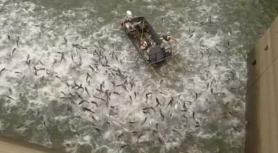 震撼畫面!亞洲鯉魚入侵北美 美國用這招一網打盡