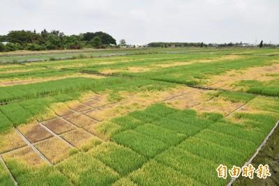 真么壽!秧苗場整片遭噴除草劑 農民損失近百萬
