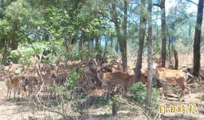 綠島過山古道生態豐 有機會巧遇梅花鹿
