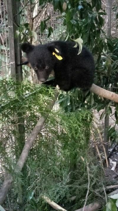 廣原小熊等了10天仍不見媽媽 台東林管處照養至1歲後再野放