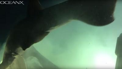 巴哈馬海底「史前巨鯊」現蹤 研究人員驚呼:比潛水艇大!