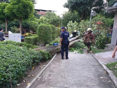 掃到颱風尾!公園樹倒 新北婦人遭壓斷腿