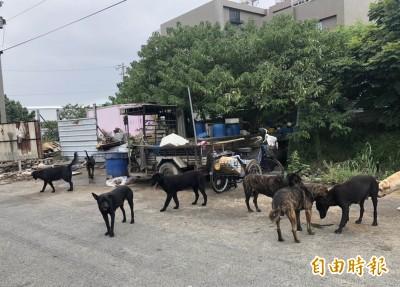 彰化逾50隻流浪狗「霸街」4天未進食引發居民驚恐!