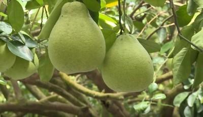 花蓮鶴岡文旦估產4200萬台斤 農友提早開放認購