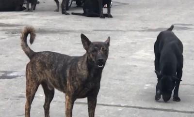彰化和美流浪狗「霸街」 動防所:分流收容和結紮