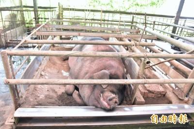 如何養出1200台斤大神豬?宜蘭養豬達人親揭密