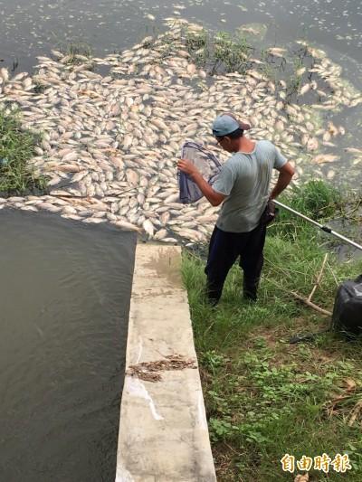 高市鳳山溪變黑水溝 打撈100多噸魚屍