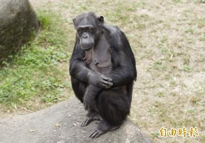 夏天就是要吃冰!黑猩猩「阿美」50歲 大啖水果冰慶生