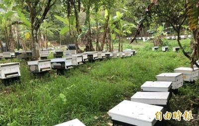 埔里連3年蜜蜂大量死亡 防檢局加強查緝違法農藥