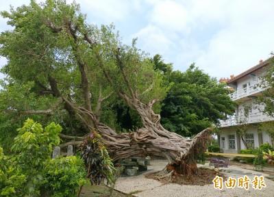 不敵豪雨加地震 員林百年榕樹倒了