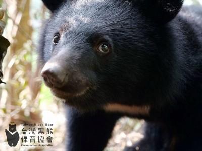 南安小熊項圈脫落行蹤成謎  林務局樂觀判定重回山林