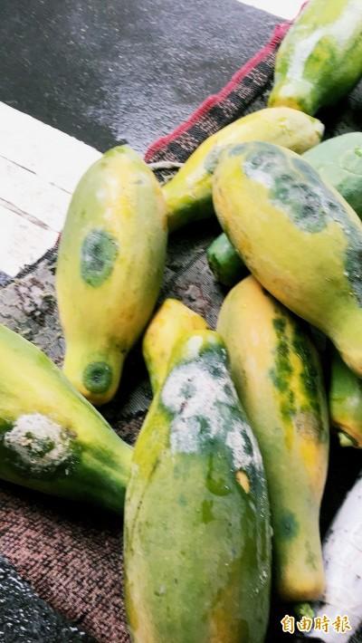 雨不停 屏東農損出現了!木瓜估折損近5成