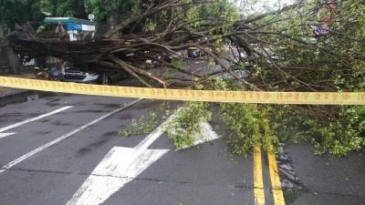 台北辛亥路3樓高路樹突倒 壓毀路邊休旅車