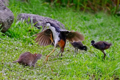 為母則強!白腹秧雞育雛遇大肥鼠 搏鬥畫面曝光