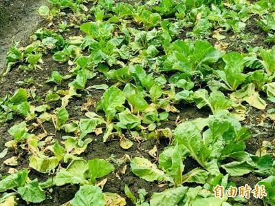 雨炸雲林!蔬菜、木瓜傳災損 縣府爭天然災害救助