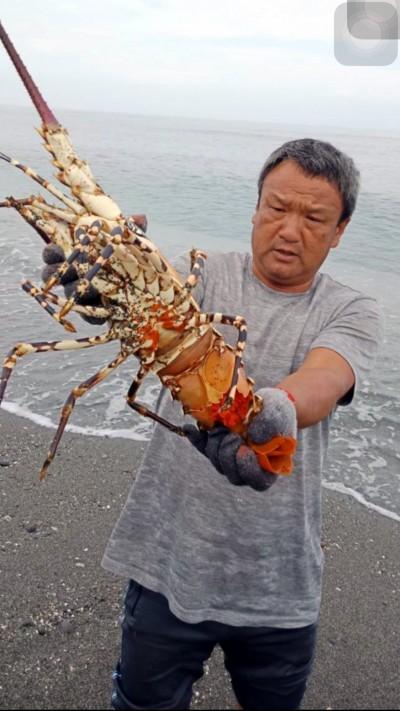 長濱漁民捕獲5斤重抱卵大龍蝦 放回大海救生態