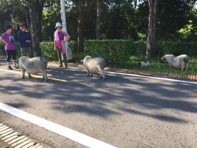 自行車道「豬隻之亂」 3大1小麝香豬逛大街!