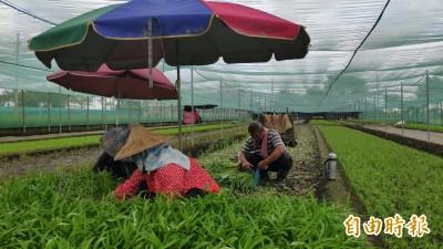 白鹿颱風未至菜價先漲 農民嘆復耕還沒開始呢!