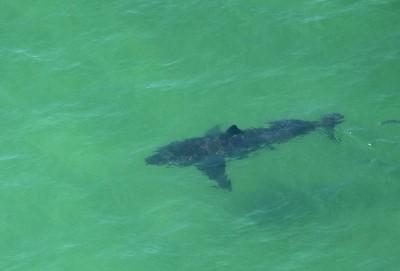 鯊魚活動高峰期!目擊通報逾300次 全美緊急關閉60處海灘