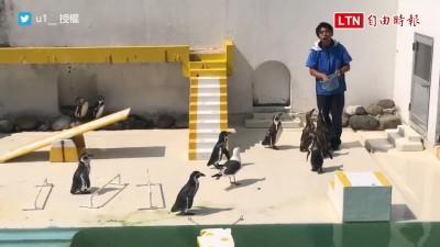 「我也想吃魚!」海鷗亂入企鵝表演 表現竟比主角還好?