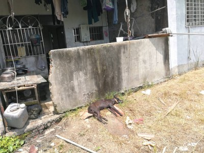 移工宿舍外毛小孩被曬死 民眾通報虐狗