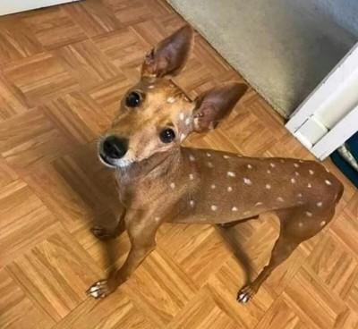 「小鹿」在我家? 毛小孩一臉無辜呆望鏡頭 網友笑翻