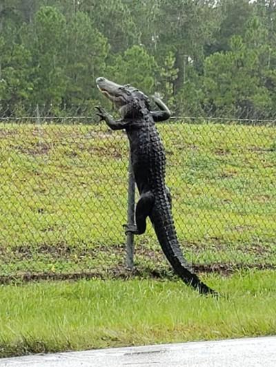 鱷魚會爬牆! 直闖海軍基地驚人畫面曝光