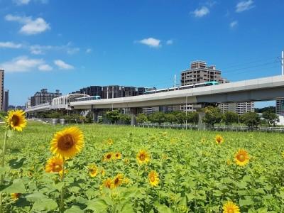 期間限定!千朵向日葵、百日草花田淡水盛開