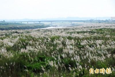 台南曾文溪畔現雪景? 甜根子草花季來臨