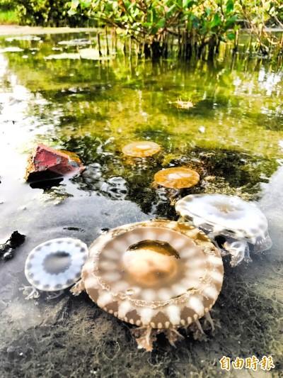 剛毛蟲產卵被誤認 但水母湖的倒立水母真的回來了