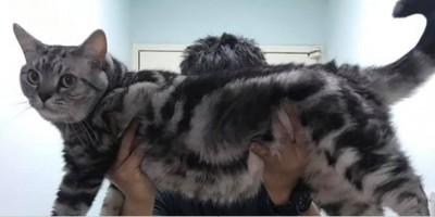 阿嬤養的?他捧愛貓拍照 體型超巨大被驚呼「小老虎」