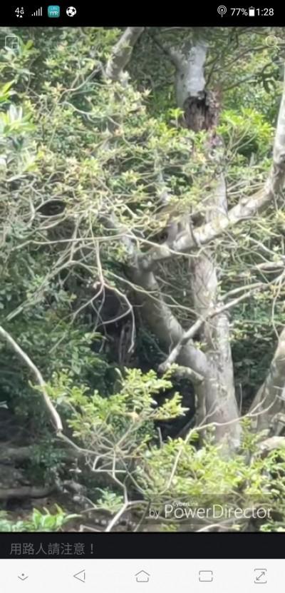 苗130縣道苑裡往三義段頻見小落石 元凶竟是潑猴
