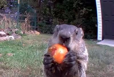 超萌「偷菜賊」!土撥鼠站鏡頭前「囂張地吃給你看」爆紅