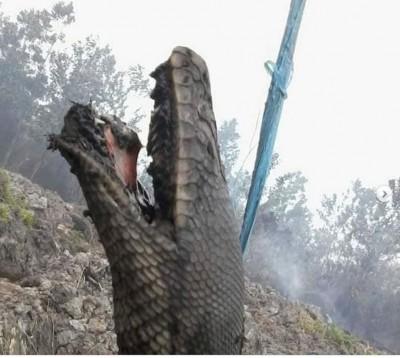 印尼森林大火被燒成焦屍 「蟒蛇王」死前最後掙扎曝光