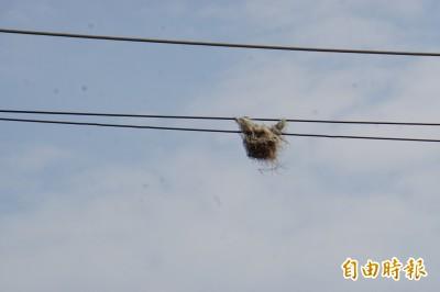 電線上的超強鳥巢 風吹雨打超過半年不會掉