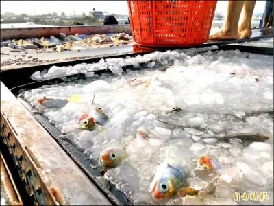 大批屏東養殖戶驚傳被騙「魚」跳票 漁民訴苦