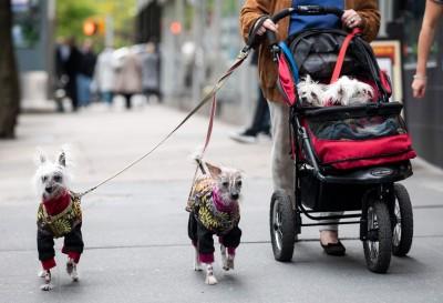 澳洲新法:飼主超過24小時未遛狗 最高可罰8.4萬