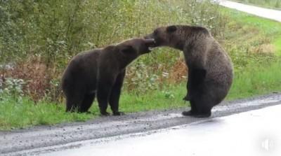 開車驚見灰熊爭地盤馬路大戰 女網友冒死錄下驚奇畫面!