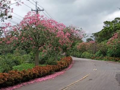 超壯觀!淡水忠山社區美人花齊放 賞花之旅入秋起跑