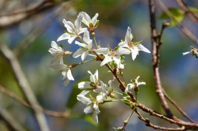 奧萬大霧社櫻開花、楓香吐新芽 原來是颱風搞的鬼