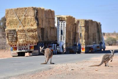 不是可愛動物! 澳洲袋鼠擾民 維州准獵殺加工成寵物食品