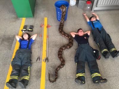 最狂開箱文!消防員同框6.5米百公斤巨蟒