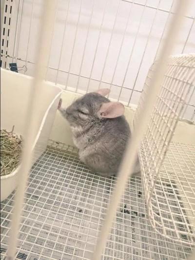 超萌!龍貓壁咚打瞌睡 網友:沉思鼠生?