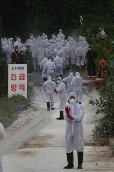 南韓豬瘟疫情擴大至非軍事區 韓軍方下達「野豬格殺令」